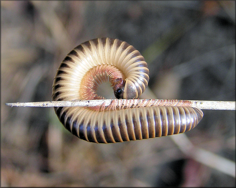 Florida Ivory Millipede [Chicobolus spinigerus]