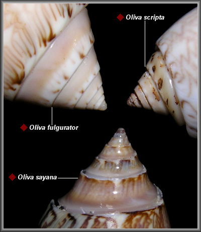 The Genus Oliva In The Western Atlantic
