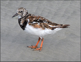Ruddy Turnstone Arenaria interpres