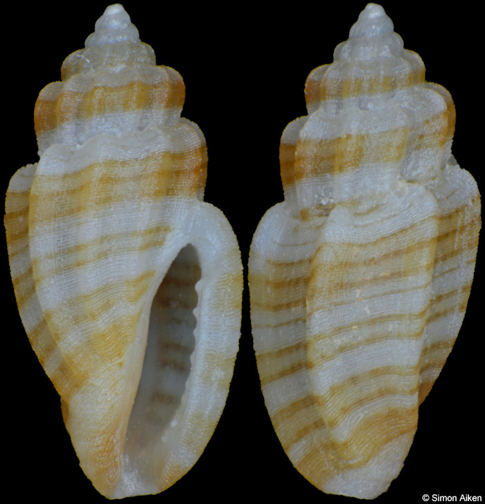 Eucithara species C