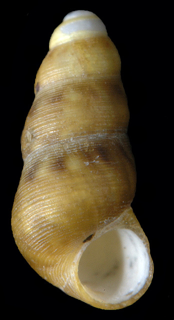 Halistylus pupoideus (Carpenter, 1864: 613)