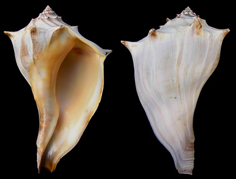 Busycon carica - Knobbed Whelk