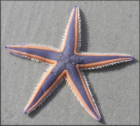 Морская звезда силуэт