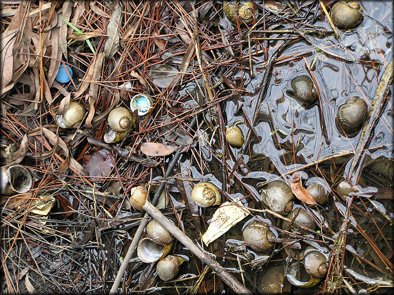 A miniscule part of the empty Pomacea maculata shells on the shoreline