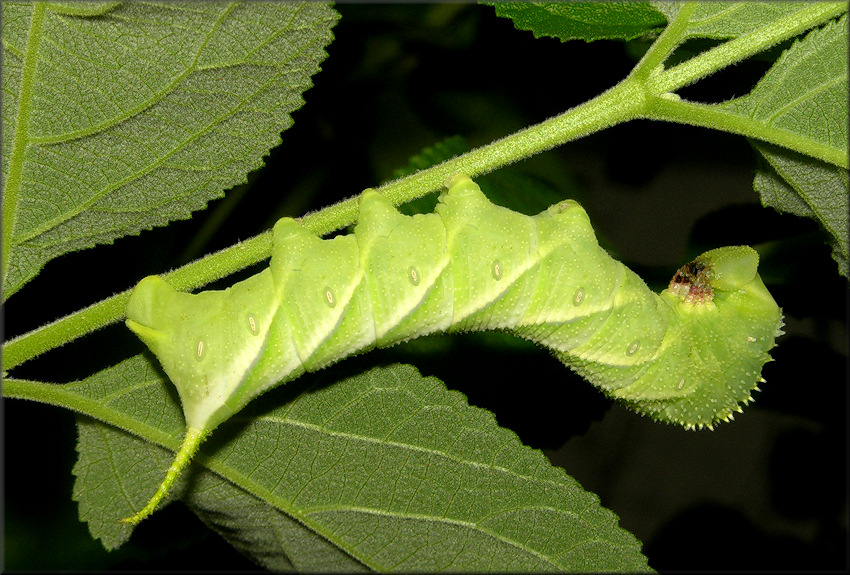 Waved Sphinx Moth Caterpillar [Cratomia undulosa]