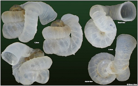 Opisthostoma acolaston Vermeulen, 1994