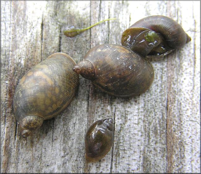 Pseudosuccinea columella (Say, 1817) Mimic Lymnaea