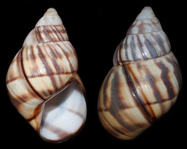 orthalicus reses nesodryas pilsbry 1946 florida keys tree snail