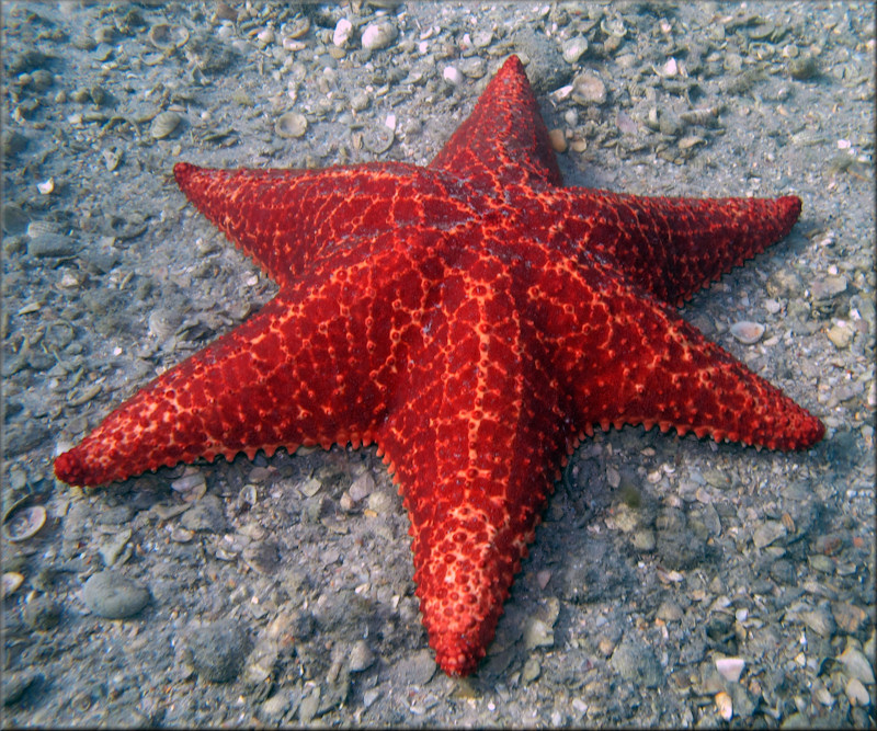 oreaster reticulatus cushion sea star with six arms